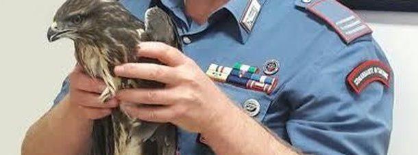 """Carabinieri mettono in salvo un falco adulto della specie protetta """"Poiana comune"""""""