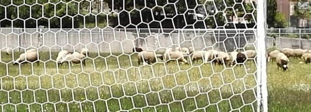 Monte San Giacomo, le pecore nel campo di calcio in disuso
