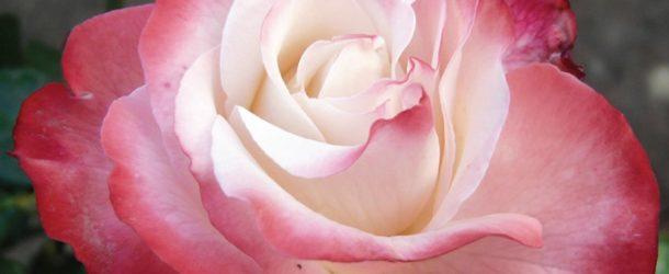 """Sabato 25 maggio a Campagna """"Rose e Dintorni"""""""